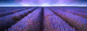 lavendar-2-blog